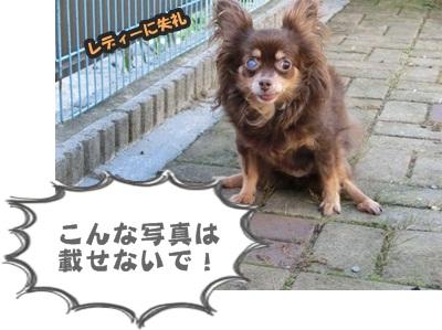 ちわわ軍団060