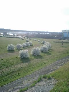 20100317多摩川の白い花.JPG