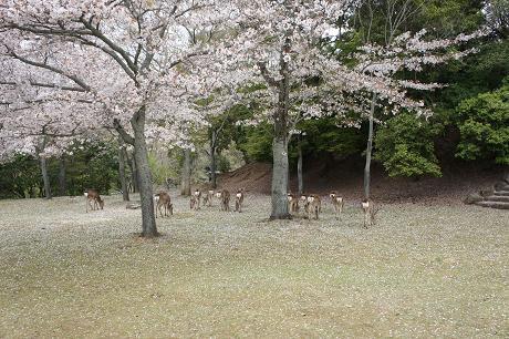 鹿のおしりと桜
