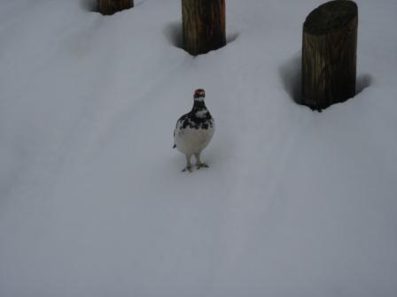 20110526 立山室堂から雷鳥荘辺りの雷鳥