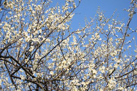梅咲き誇る2