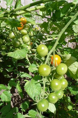 緑トマト1