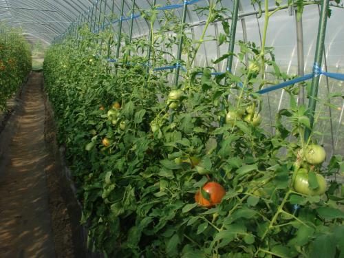 トマトの最近