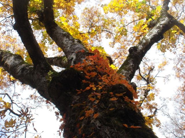 天生峠の樹