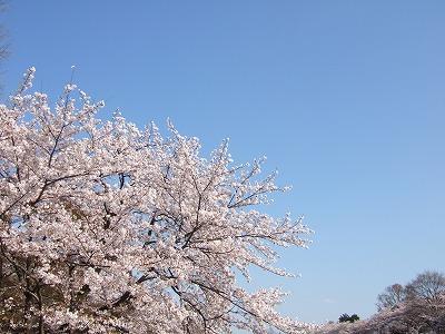 2010_0408井の頭公園桜0091
