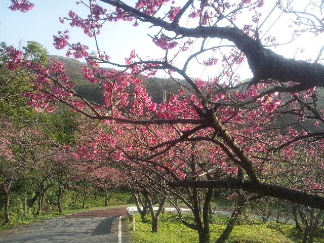 八重岳桜②DSC_0503
