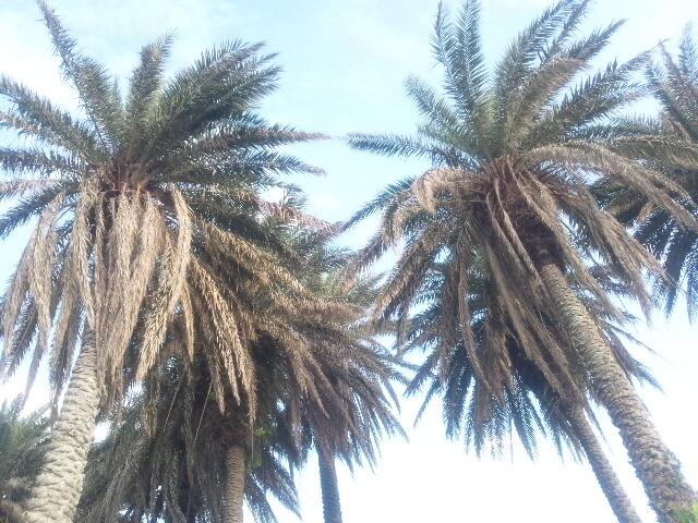 201305公園内ヤシの木