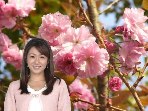 長野美郷 八重桜