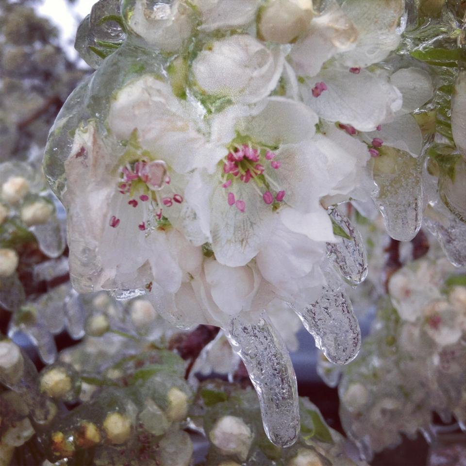 花凍る梨の