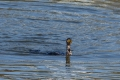 20141123_chiba_shiroi_カワウ_Great Cormorant_DSC_ (9)s