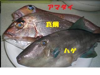 アマダイ・真鯛・ハゲ