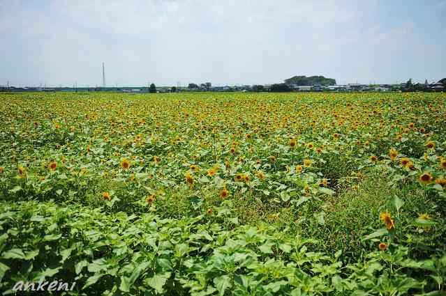 021  ひまわり畑
