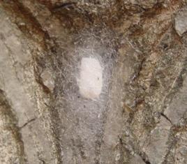 ジョロウグモの卵リサイズ