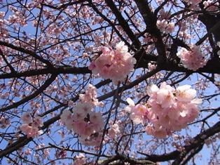 大寒桜 (5)リサイズ