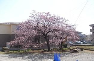 大寒桜(1)リサイズ