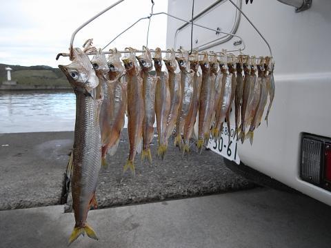 柳葉魚(ししゃも) 浦幌町 厚内漁港3