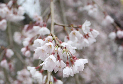 しだれ桜のズーム
