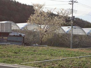 きみどり桜1