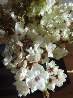 きみどり桜6