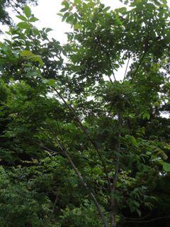 ぬるでの森2