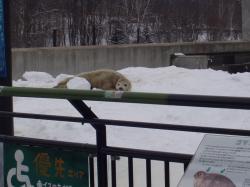 あざらしの赤ちゃん 旭山動物園
