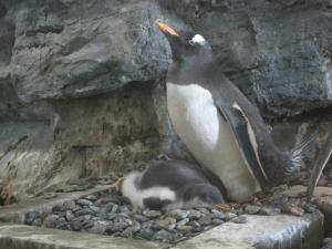 旭山動物園 ペンギンの赤ちゃん