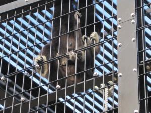 旭山動物園 シロテナガザルの赤ちゃん