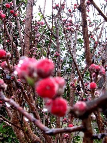 桃の花 008