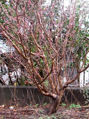 桃の花 002
