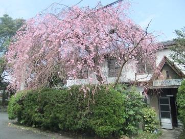 銀月アパート枝垂れ桜