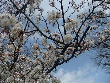 上終公園の桜