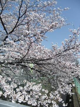 北白川疎水の桜