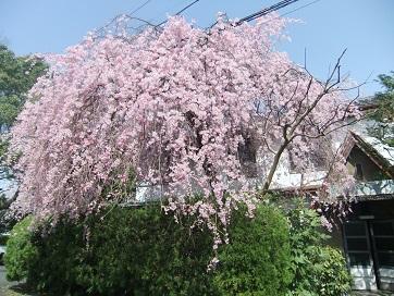 銀月アパートの枝垂れ桜2