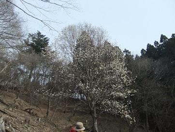 タムシバの花