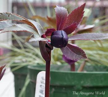 dd Dark purpleyumeh2602201006