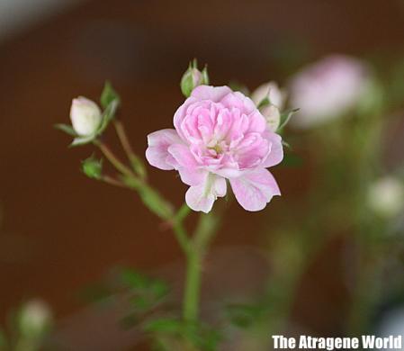 roseburugaria1405201001.jpg