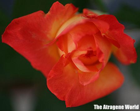 roseorengeoow1305201001.jpg