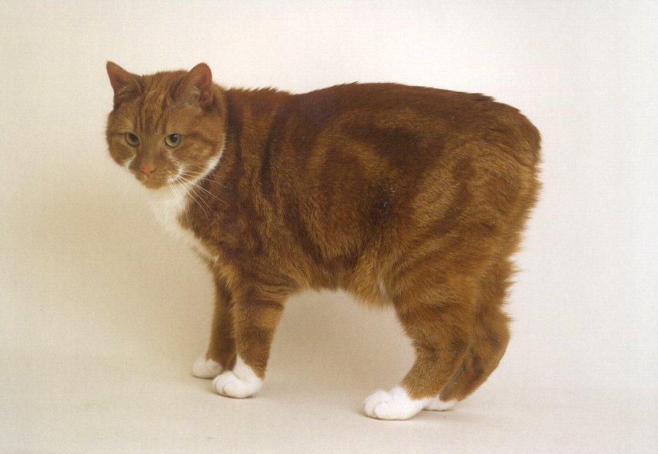 manx-cat.jpg