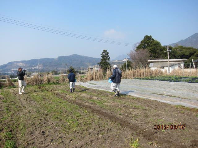 キャベツの畝作り