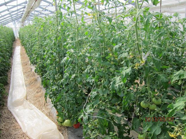 トマトの管理