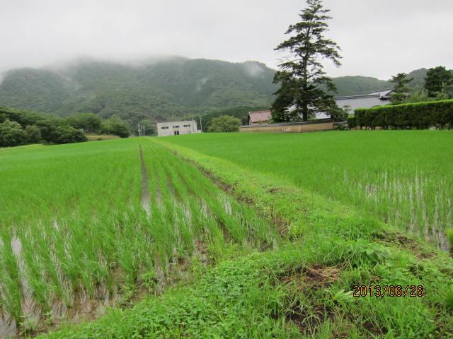 間断灌水へ移行した圃場