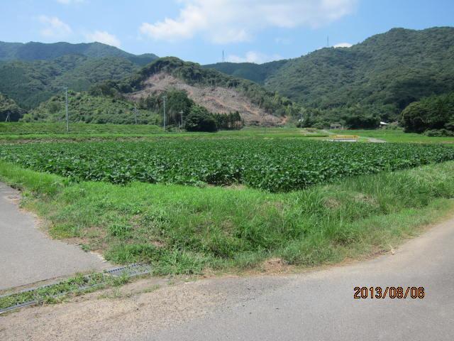 草引きの大豆圃場