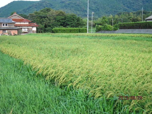 大雨で倒れた稲