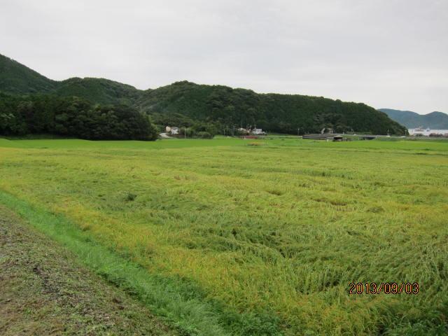 9月3日別の水田のコシヒカリ