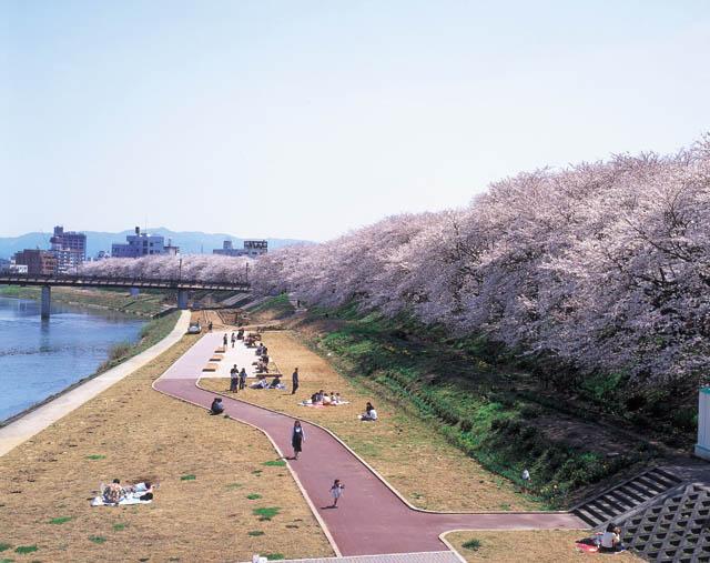 足羽河原の桜2