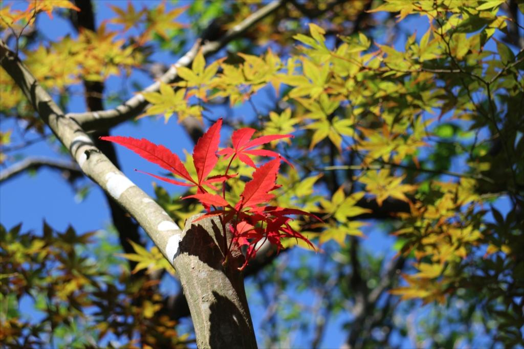楓もほんのり色づき始めた_1