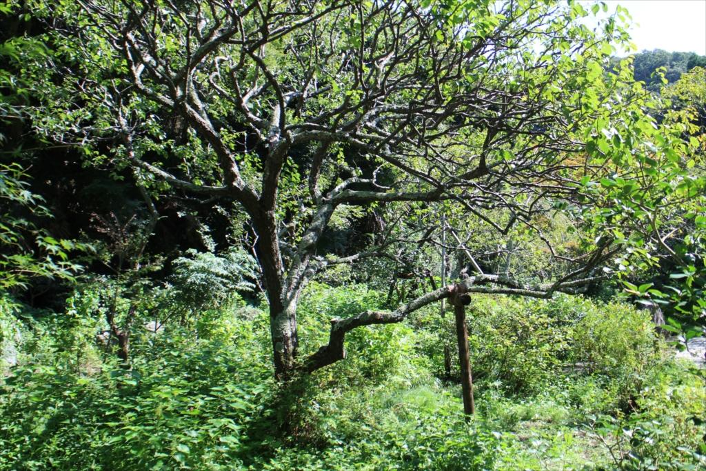 樹木に付いた苔がすごい_2