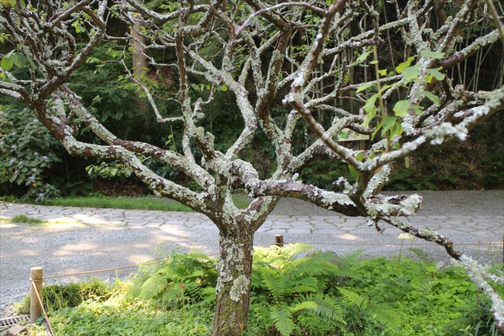 樹木に付いた苔がすごい_4