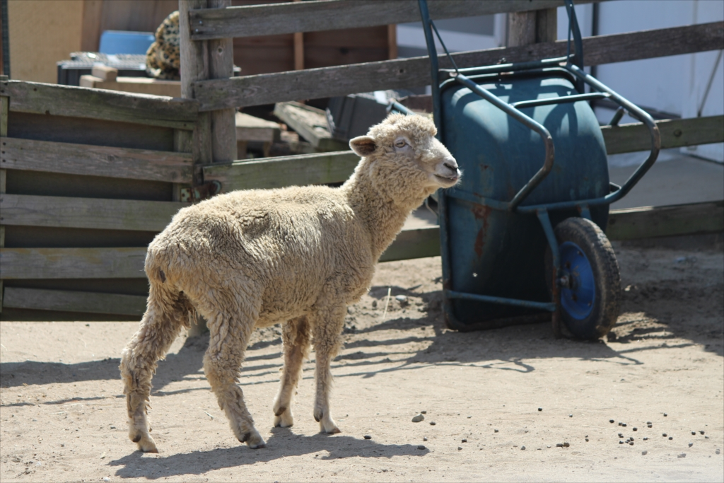 羊さん_1