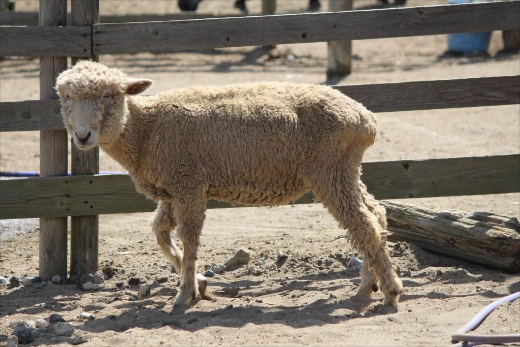 羊さん_2